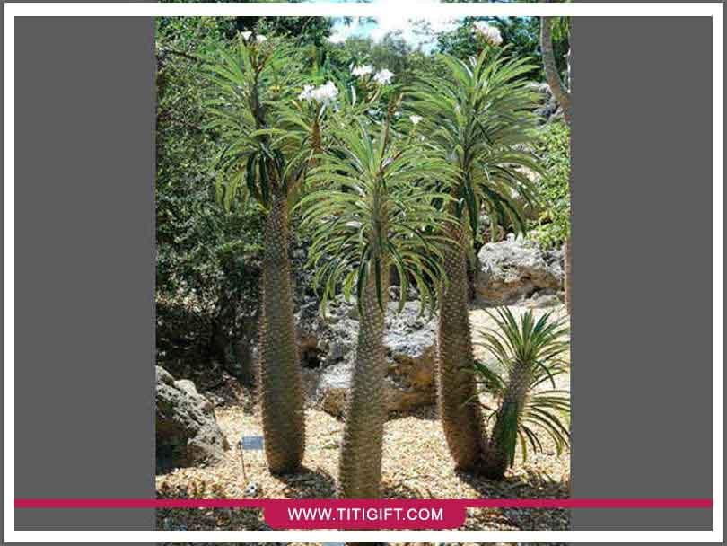 آشنایی با درختچه ماداگاسکار