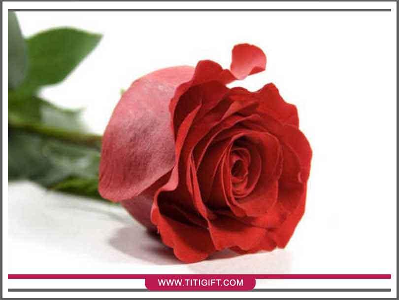 چند روش تازه نگه داشتن گل رز هلندی