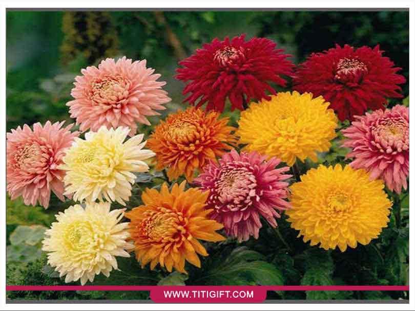 آشنایی با گل داوودی