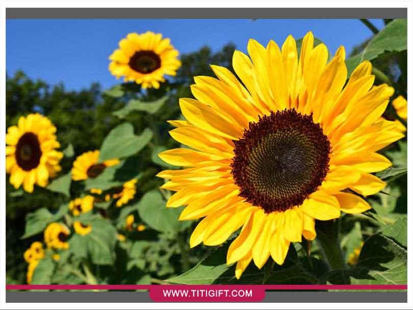 آشنایی با گل آفتابگردان